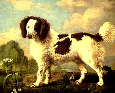 brown-and-white-norfolk-or-water-spaniel